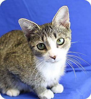 Domestic Shorthair Cat for adoption in Winston-Salem, North Carolina - Shania
