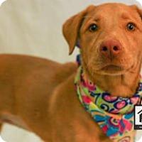 Adopt A Pet :: Maybelle - El Paso, TX