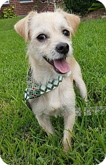 Terrier (Unknown Type, Medium)/Chihuahua Mix Dog for adoption in Baltimore, Maryland - Tanner