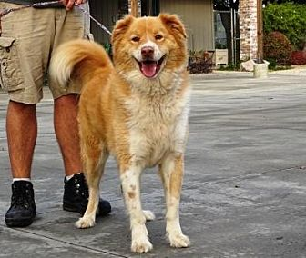 Australian Shepherd/Golden Retriever Mix Dog for adoption in Lathrop, California - Max