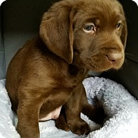 Adopt A Pet :: Lemonade's Heart - Alexandria, VA