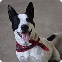 Adopt A Pet :: Emmanuel - McKinney, TX