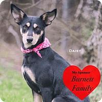 Adopt A Pet :: Daisy - San Leon, TX