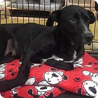 Adopt A Pet :: Allie - Gainesville, FL