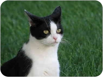 Domestic Shorthair Cat for adoption in Maxwelton, West Virginia - GOOGLES