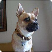 Adopt A Pet :: Bravo - NEEDS A FOSTER HOME! - Los Angeles, CA