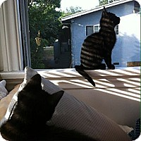 Domestic Shorthair Cat for adoption in Los Angeles, California - Sid and Ramone- special boys