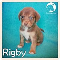 Adopt A Pet :: Rigby - Novi, MI