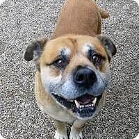 Shepherd (Unknown Type)/Labrador Retriever Mix Dog for adoption in Marseilles, Illinois - BG