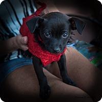 Adopt A Pet :: Sadie Puppy - San Marcos, CA