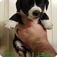 Adopt A Pet :: Shelton - Broken Arrow, OK