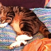 Domestic Shorthair Cat for adoption in New City, New York - Hippie & Groovy