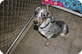 Australian Cattle Dog/Coonhound Mix Puppy for adoption in New Richmond,, Wisconsin - Caliah