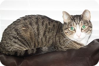 Domestic Shorthair Cat for adoption in Richmond, Virginia - Bootsy