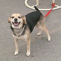 Beagle/German Shepherd Dog Mix Dog for adoption in Coal City, West Virginia - Lucky