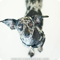 Adopt A Pet :: Saydee - Los Angeles, CA