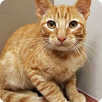 Domestic Shorthair Kitten for adoption in Plainfield, Illinois - Tigger