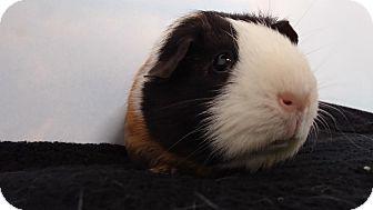 Guinea Pig for adoption in Aurora, Colorado - Johnny