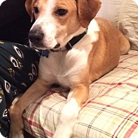Labrador Retriever/Hound (Unknown Type) Mix Dog for adoption in Rockaway, New Jersey - Charley