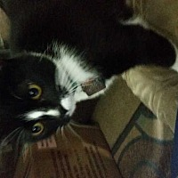Domestic Shorthair Cat for adoption in Cumberland and Baltimore, Maryland - London