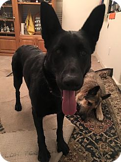 German Shepherd Dog Mix Dog for adoption in Alameda, California - Kuni