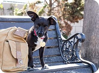 Chihuahua Mix Dog for adoption in Seal Beach, California - Luna