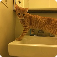 Adopt A Pet :: Pumpkin - Columbia, MD
