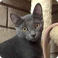 Russian Blue Cat for adoption in Phoenix, Arizona - Jackson