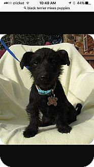 Poodle (Miniature)/Fox Terrier (Smooth) Mix Puppy for adoption in Sherman Oaks, California - Bindi