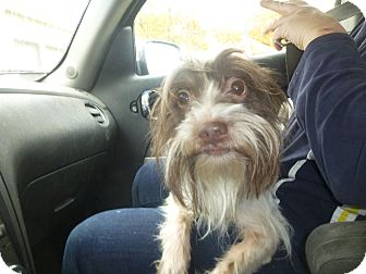 Shih Tzu/Terrier (Unknown Type, Medium) Mix Dog for adoption in Glastonbury, Connecticut - Rambo