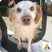 Adopt A Pet :: Elli - Eighty Four, PA