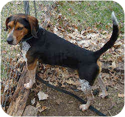 Beagle Dog for adoption in Pittsburgh, Pennsylvania - Cosby