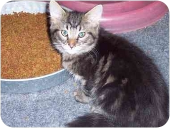 Domestic Mediumhair Kitten for adoption in Delmont, Pennsylvania - Ian