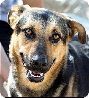 German Shepherd Dog/Labrador Retriever Mix Dog for adoption in Vista, California - Harley