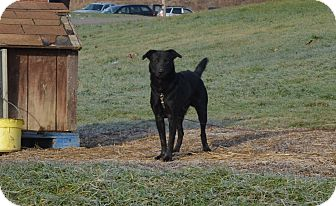 Labrador Retriever Mix Dog for adoption in New Manchester, West Virginia - Randy