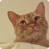Adopt A Pet :: Tigger - Columbia, MD