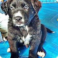 Adopt A Pet :: Ryder - Gig Harbor, WA