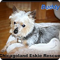 Adopt A Pet :: Buddy - Elmhurst, IL