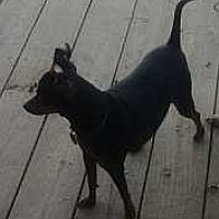 Miniature Pinscher Mix Dog for adoption in Columbus, Ohio - Rusty