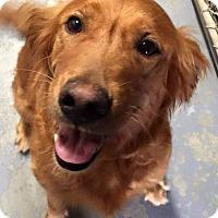 Adopt A Pet :: Genesis - Windam, NH