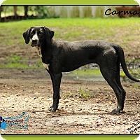 Adopt A Pet :: Carmen - Sarasota, FL