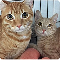 Adopt A Pet :: Ross and Rufus - Milford, MA