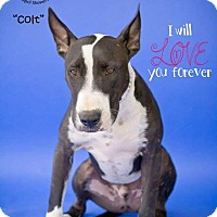 Bull Terrier/Staffordshire Bull Terrier Mix Dog for adoption in Bakersfield, California - Colt