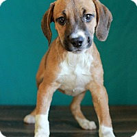 Adopt A Pet :: Chris - Waldorf, MD