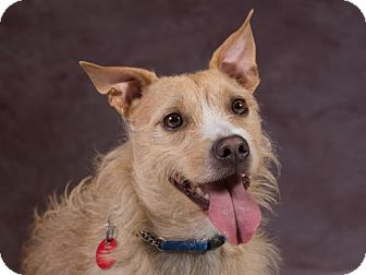 Border Terrier/Terrier (Unknown Type, Medium) Mix Dog for adoption in League City, Texas - Milo