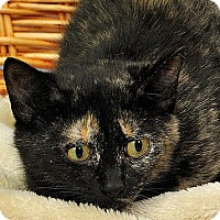 Domestic Shorthair Cat for adoption in Gatineau, Quebec - Misty