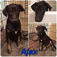 Adopt A Pet :: Aides and Ajax - CHAMPAIGN, IL