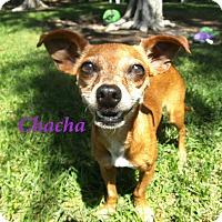 Adopt A Pet :: Chacha - El Cajon, CA