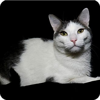Domestic Shorthair Cat for adoption in Mississauga, Ontario, Ontario - Theo