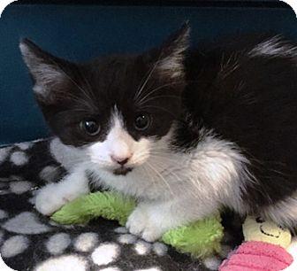 Domestic Mediumhair Kitten for adoption in Sacramento, California - Cappy